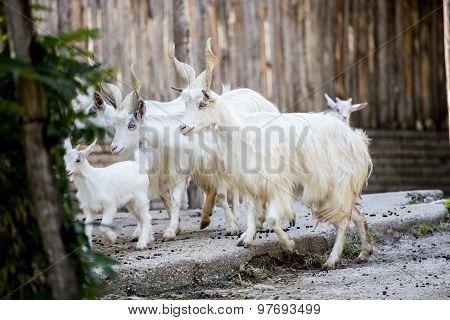 Herd Of Girgentana Domestic Goats