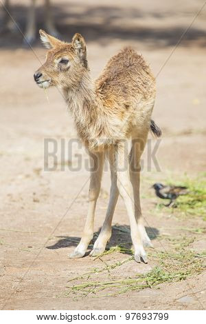 Calf Of Waterbuck Standing