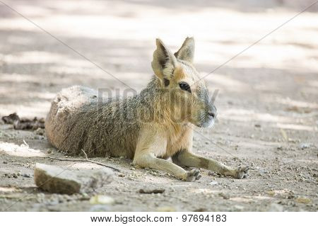 Patagonian Mara Resting At The Ground