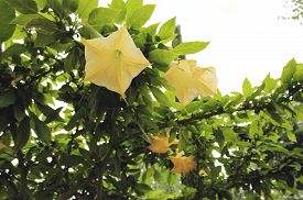 foto of angel-trumpet  - Yellow angels trumpet flower  - JPG