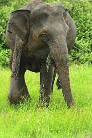 foto of indian elephant  - Indian elephants in the wild natural habitat - JPG