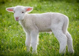 picture of suffolk sheep  - a white suffolk lamb a few days old standing on the grass