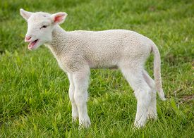 pic of suffolk sheep  - a white suffolk lamb a few days old standing on the grass bleating