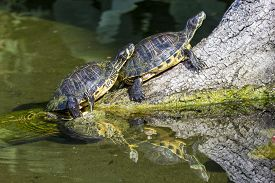 stock photo of terrapin turtle  - Two pond slider turtles Trachemys scripta scripta resting on a dead branch in a small lake - JPG