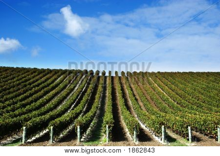 Grape Vines At Winery