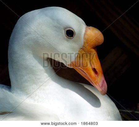 Gentle Goose