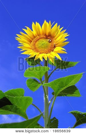 Big sunflower and sky. Nature composition.