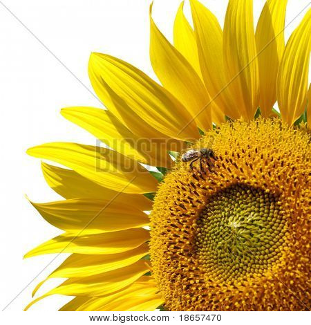 Big isolated sunflower. Element of design.