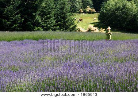 Lady In Lavender Field