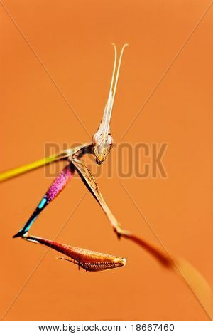 macro of a praying mantises with an alien look, focus on the claw, Botswana, Mantis religiosis