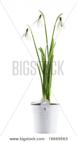 bunch of  snowdrop flowers in a tin basket on white  background