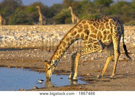 Beber girafa
