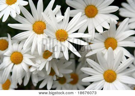 Feld von Blooming Daisies im Frühling