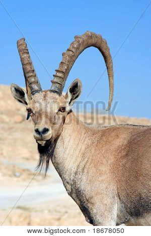 Male Gazelle of the Desert