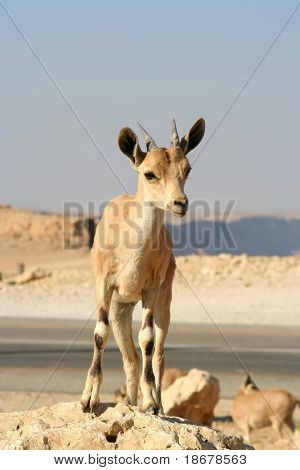 Baby Gazelle of the Desert