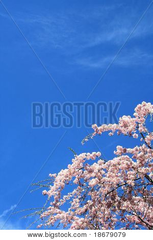 Spring Sky and Blooming Tree Flowers on a clear day
