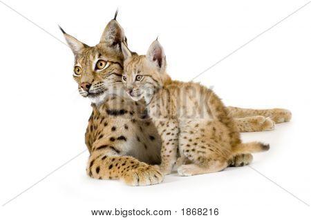 Lynx (2 Jahre) und ihr Cub (2 Mounths)