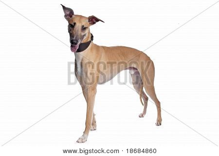Greyhound, Whippet, Galgo Dog
