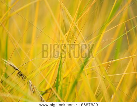 Natural background , macro of dry grass at summer. Shallow DOF photo