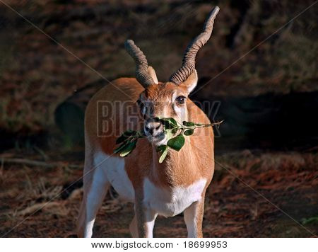 Blackbuck antelopes