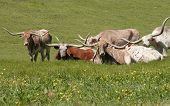 picture of longhorn  - Longhorn cattle in a field near downtown Dallas TX