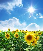 stock photo of sunflower  - Big meadow of sunflowers - JPG