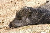 stock photo of javelina  - Pecari tajacu or Peccary animal resting on stomach on bare ground - JPG