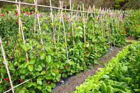 pic of green bean  - A green vegetable garden with beans lettuce and cabbages - JPG