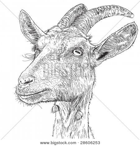 goat - a portrait - a vector drawing