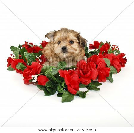 Cute Yorkie-poo Puppy