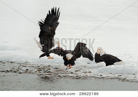 Fighting Of Bald Eagles (haliaeetus Leucocephalus)