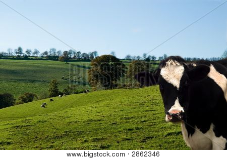 Dairy Cow And Farmland Landscape.