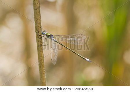 Emerald Damselfly ( Lestes Sponsa )