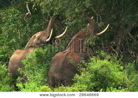 Elephants crashing through trees