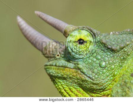 Horned Chameleon Closeup