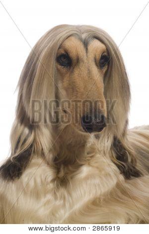 Portrait Of An Afghan Hound