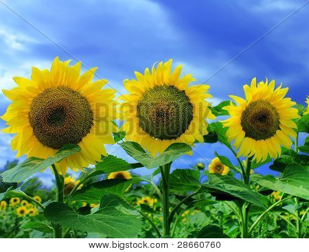 Three sunflowers in sunflower field