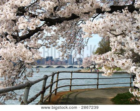 Cherry Blossom Festival In Washington - Potomac River