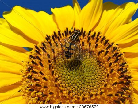 The yellow fly on a sunflower