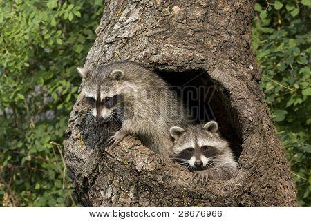 Racoon Friends