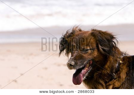Sandy Beach Dog