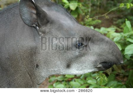 Portrait Of Tapir