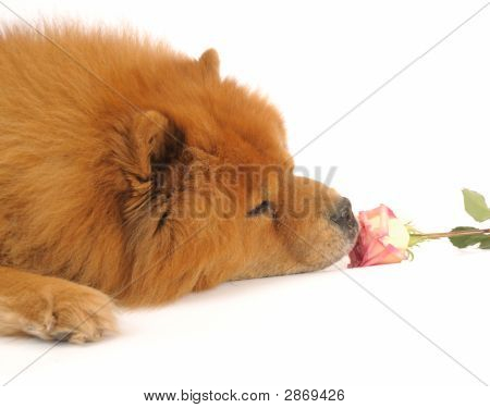 Chow-Chow And  Rose