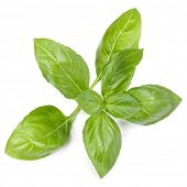 sweet basil herb leaves isolated on white background. Genovese basil leaf. poster