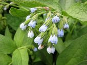stock photo of pubescent  - Comfrey  - JPG