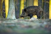 Up The Scrofa. The Wild Nature Of The Czech Republic. Free Nature. Picture Of An Animal In Nature. B poster