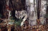 Постер, плакат: Серый волк в лесу