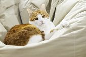 Yellow White Domestic Cat Looking In Camera Lying On Lazy Bag- Shallow Depth Of Field Close Up Direc poster