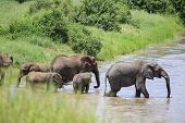 Looking From Behind Brush To Pride Of Elephants Walking Through River, Several Baby Elephants Also P poster