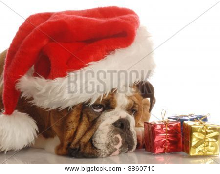 English Bulldog With Presents